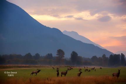 Meadowbrook Elk herd in 2014.  Photo: Don Detrick