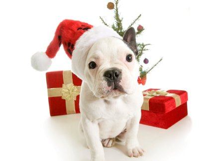 french-bulldog-with-christmas-gifts