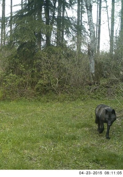 Trail cam photo of suspected black wolf taken in the Indian Hill area of Snoqualmie.