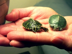 On the left is Michaelangelo the yellow-bellied slider. On the right is Piper the red eared slider.