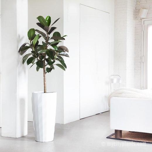 rubber-plant-diamante-white_800x