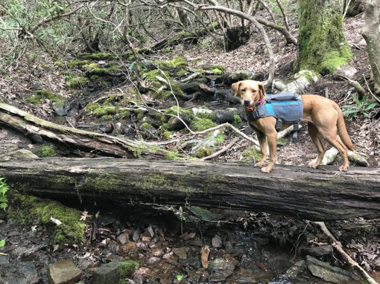 Faith the dog loves hiking on the Appalachian Trail, especially when it is a multi-day backpacking trip in the south.