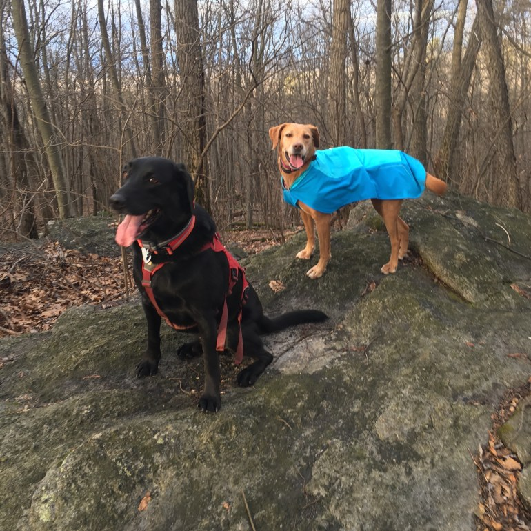 Black labrador and fox red labrador standing on a boulder in the woods