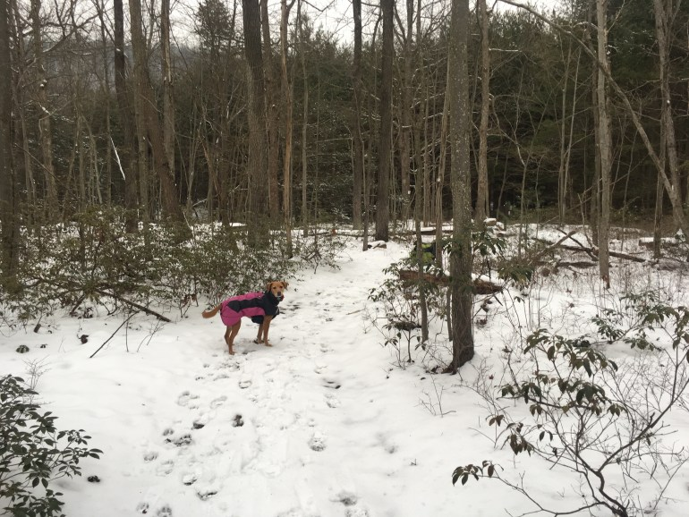 A dog wearing a pink and navy coat, looks over her shoulder on the snow covered trail
