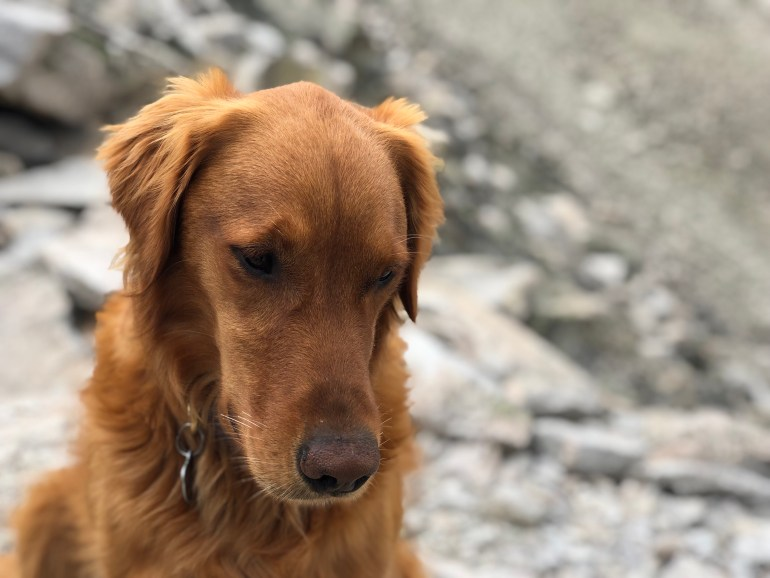 Golden Retriever with down cast eyes, looking sad.