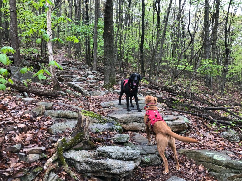 Two dogs wagging their tales while standing on rocks in a forest