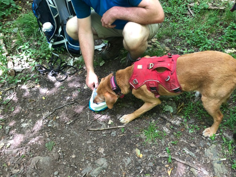 A dog eating out of a collapsable bowl in the woods.