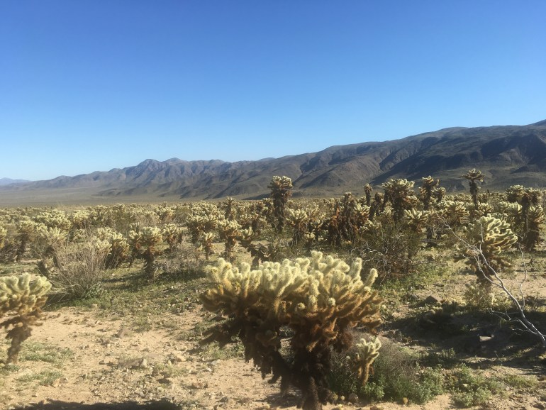 A field of cholla cactus in front of a ridge of mountains.