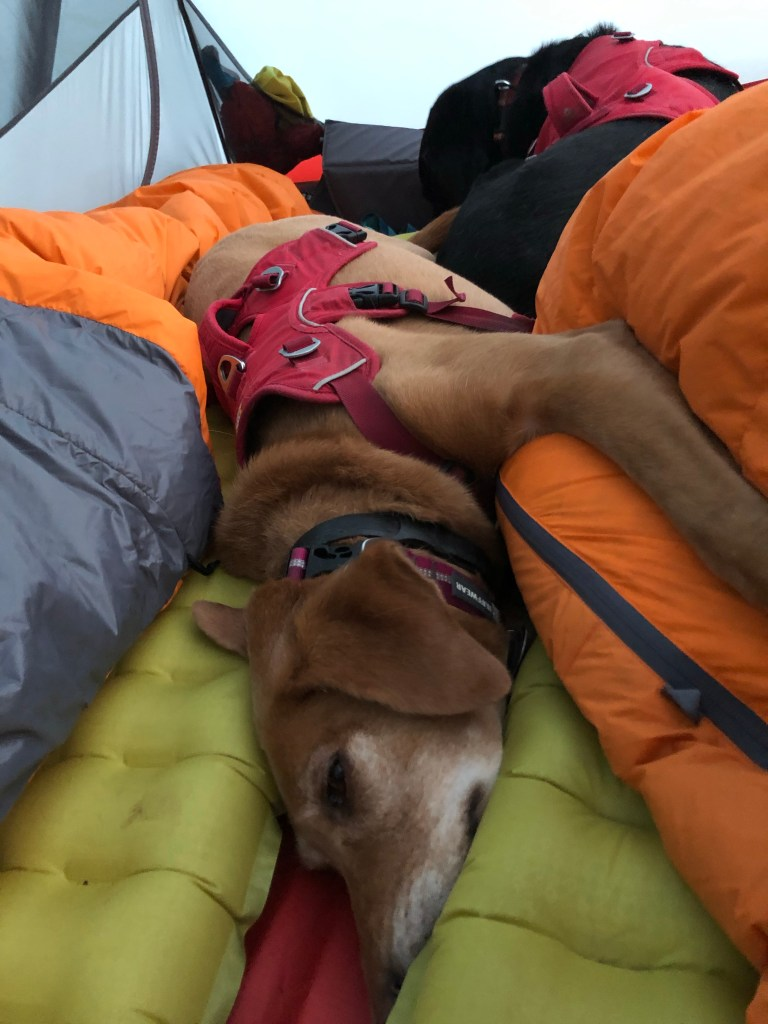 A dog laying on her side between 2 sleeping bags in a tent.