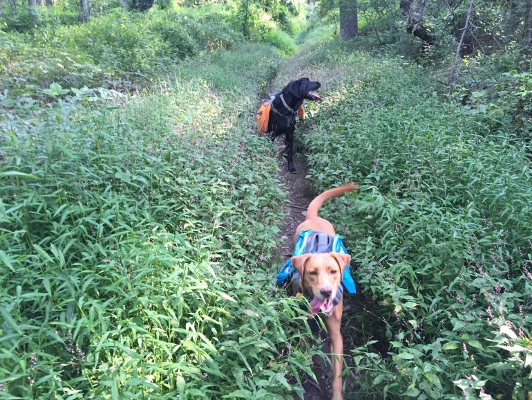 Fox red lab and black lab walk on a narrow trail bordered by overgrown plants.