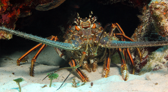 VIDEO Spiny Lobster Seasons Set To Begin July 26 27 and