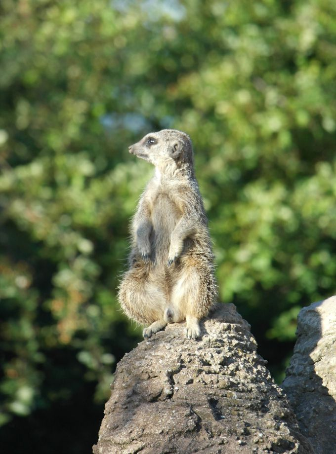Discovering the Meerkats on a private tour of the zoo after an overnight glamping stay at Whipsnade