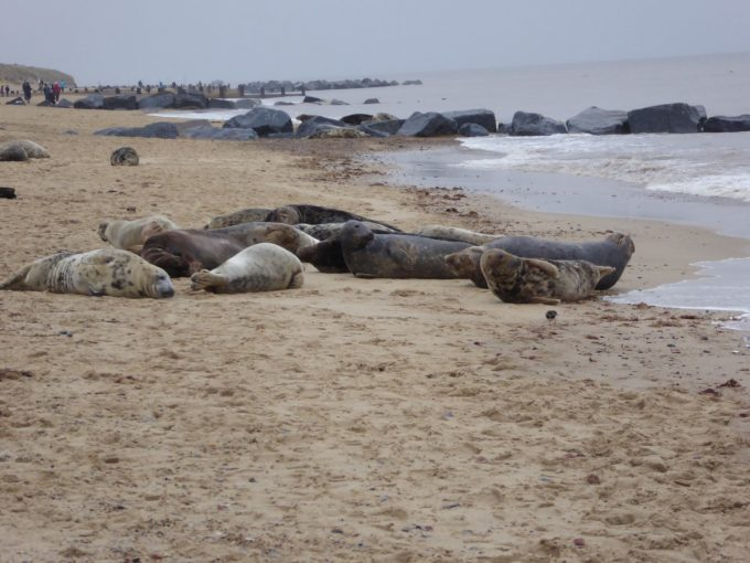 seals on horsey beach