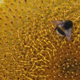 sunflower (2)