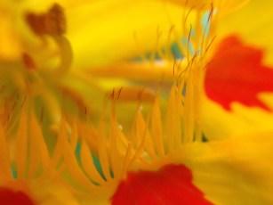 Nasturcium flower