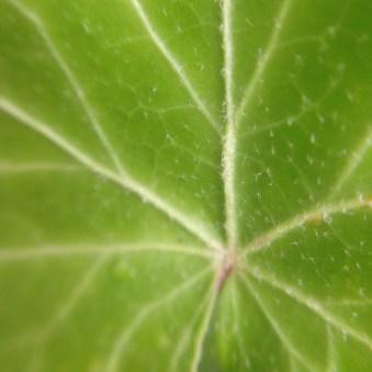 new ivy