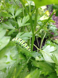 Caterpillar of Black Swallowtail Butterfly
