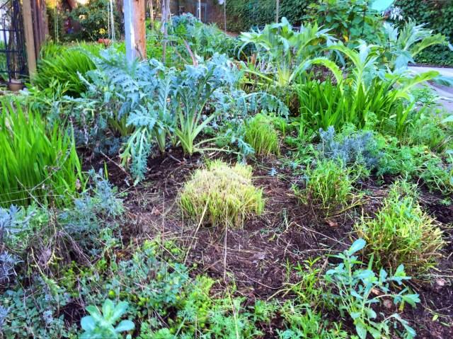 artichoke plants
