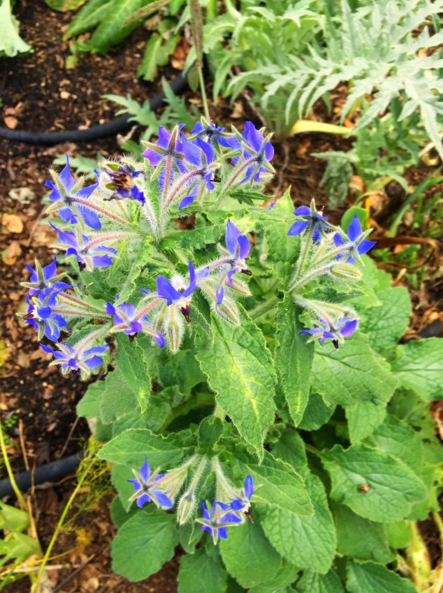 Borage in bloom