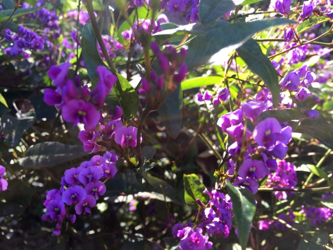Hardenbergia or purple coral pea