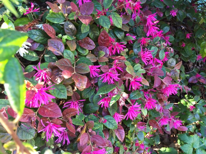 Loropetalum or Fringe flower
