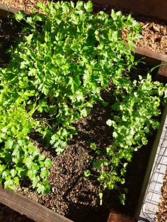 Parsley and Cilantro