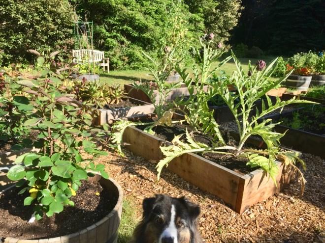 Fort Bragg CA raised bed garden