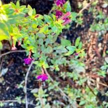 Cuphea aff. aequipetala