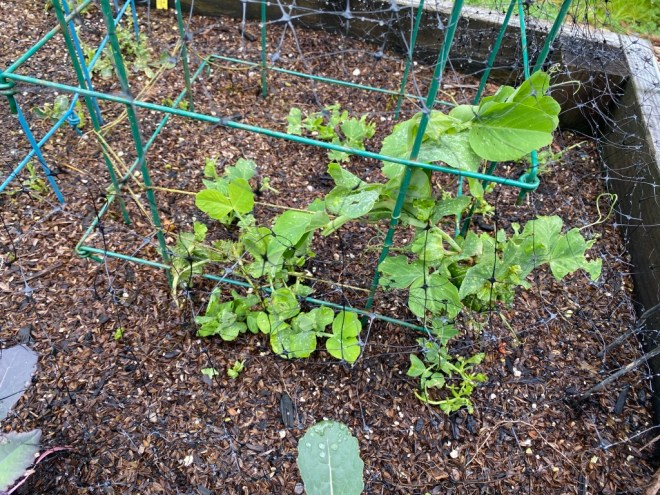 Snap Peas with Netting