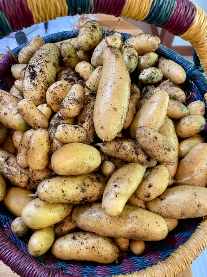 September Potato Harvest