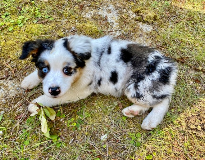 Meet Shanna 9 weeks old Aussie puppy