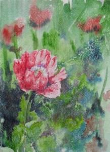 Red opium poppy