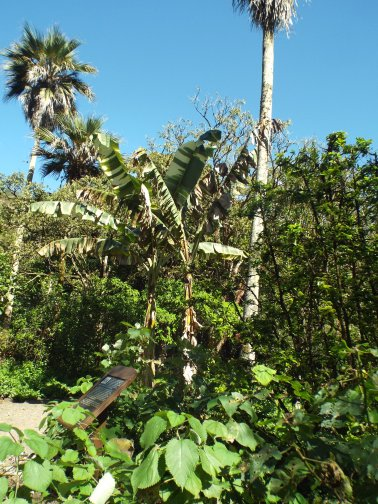 Endangered banana tree species