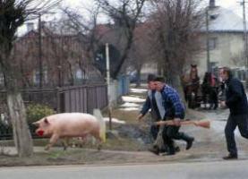 porc-oltenia