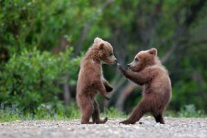 funny-bears-fight-1