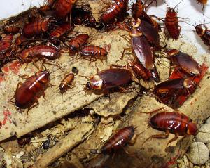 cockroach6