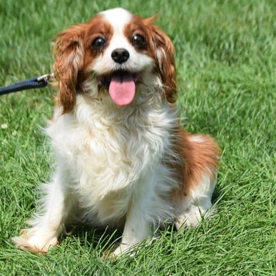 cavalier king charles spaniel rescue dog sitting
