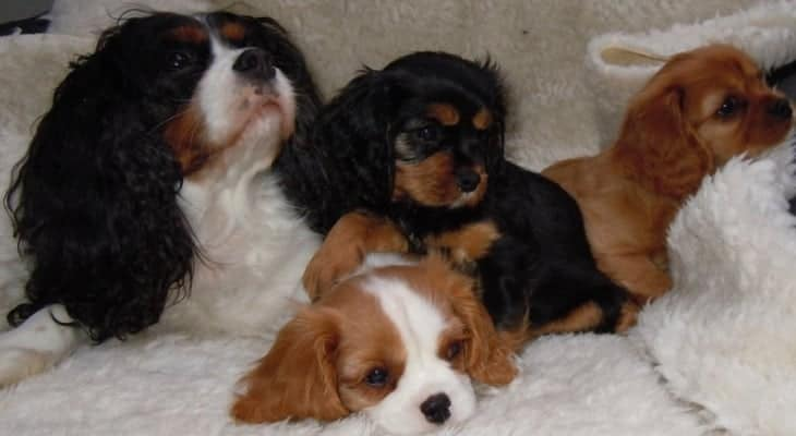 cavalier king charles spaniel health petition