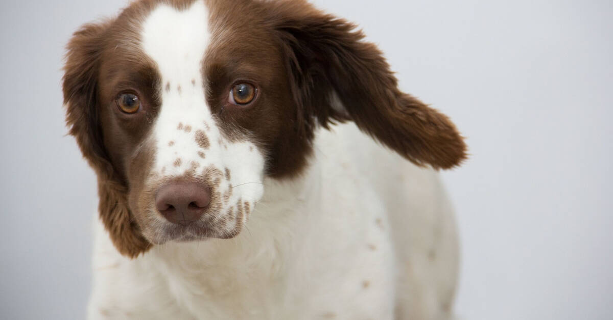 Best Brush for Springer Spaniel