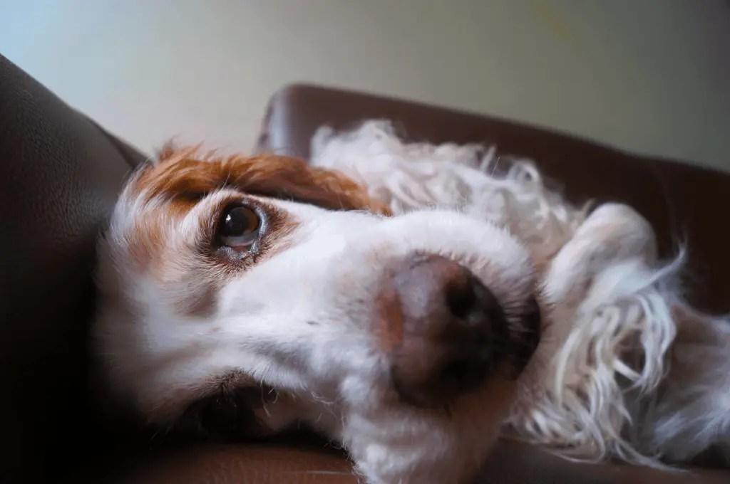 Best Dog Brush for Cocker Spaniel
