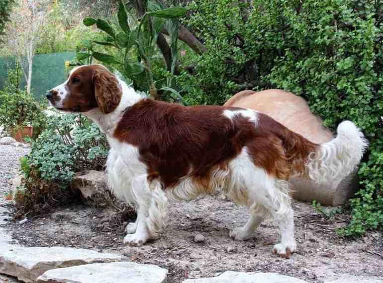 Welsh-Springer-Spaniel