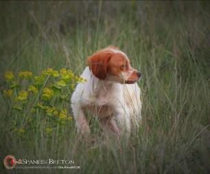 DeAbelK3-BRETON-cachorro-blanco-intenso-2b