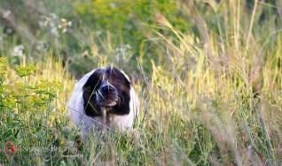 bretones-cachorrosd-DeAbelK3-Spaniel-11-k-11