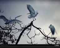 great-white-egrets-national-geographic-wallpaper