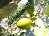 NdP 5 - Самые распространенные сорта столовых оливок и маслин