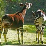 Okapi en zoo de Berlin