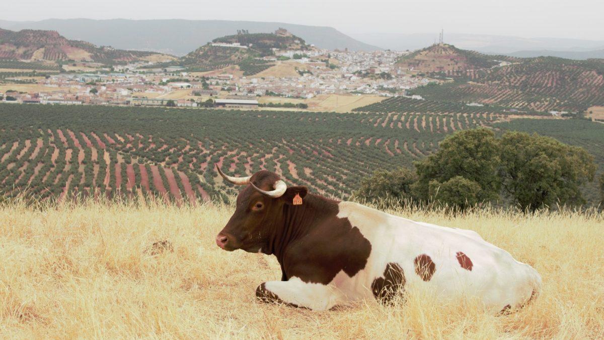 Las razas de ganado, amenazadas por la agricultura intensiva y el abandono del campo