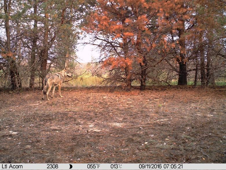 Chernóbil, territorio lobo