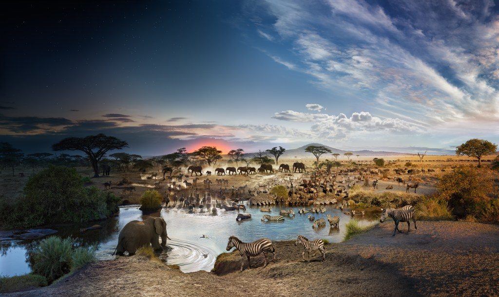 This image is from the Serengeti National Park in Tanzania, in the Seronera River Valley. Wilkes and his team photographed for 26 hours, from 18 feet in the air, as many different species came to this single watering hole over time. This image appeared in National Geographic.