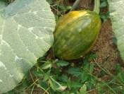Pumpkin from S's garden